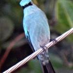 Verditor Flycatcher